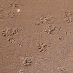 Animal-prints-at-shore